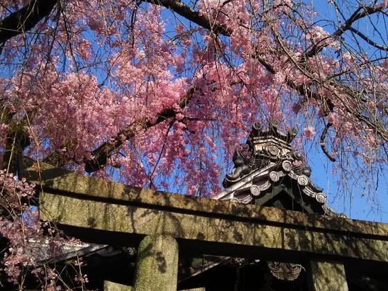 本堂前の「紅しだれ桜」