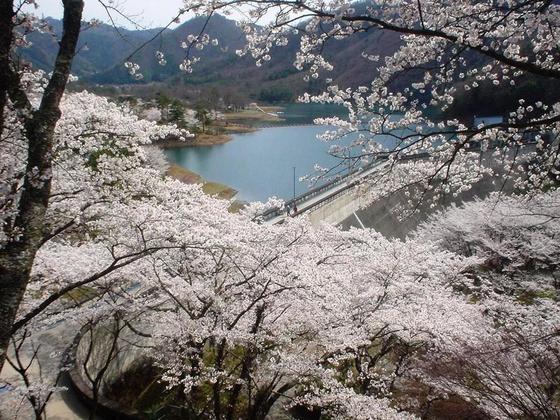 桜が咲き誇る大野ダム