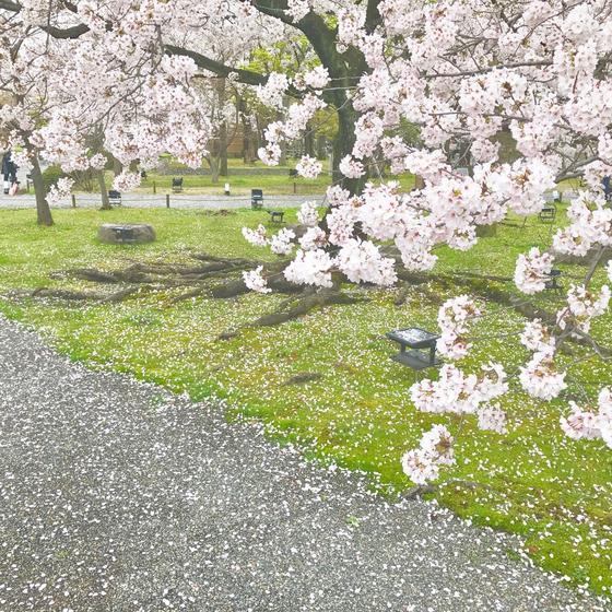 桜満開の寺院。