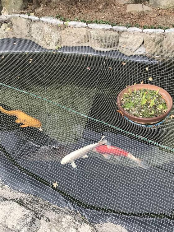 優雅に泳ぐ鯉