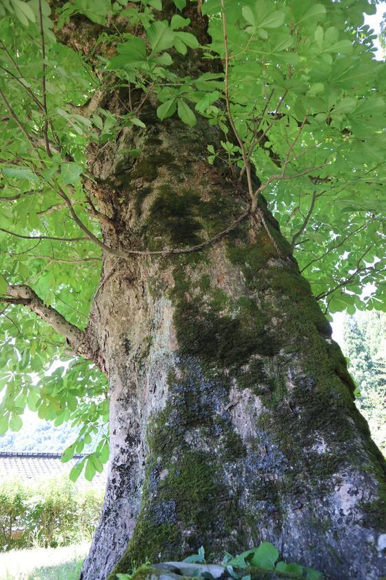 トチの木を見上げる