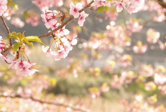 実際に見た川沿いの桜