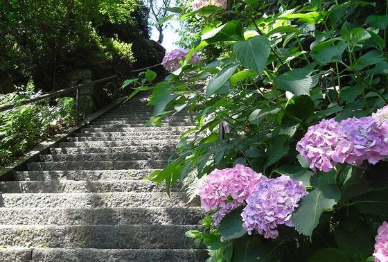 石段のあじさいが綺麗