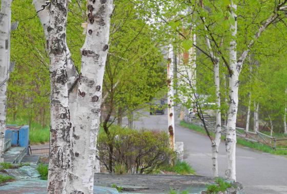 少し歩けば白樺の森がある