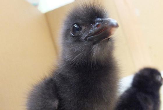 牧草地で卵の時に見つかり、環境省の施設で保護されました