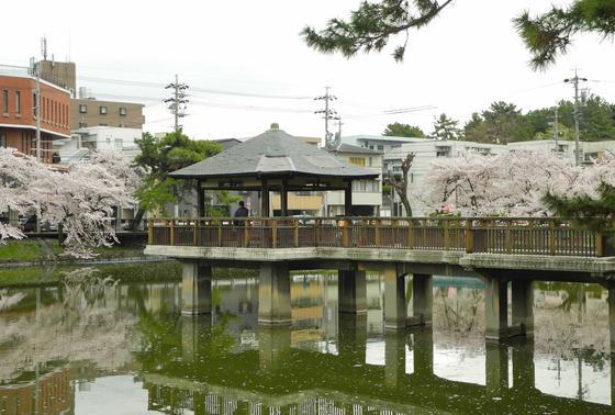 池の周囲は桜です