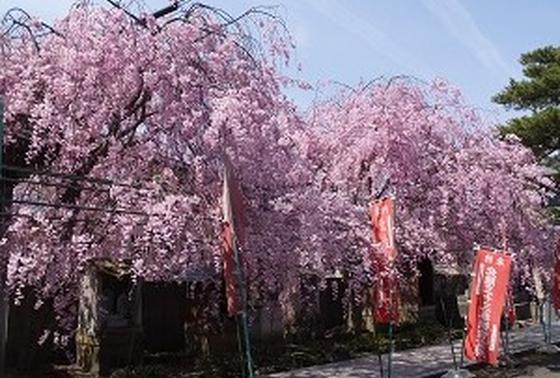 見事な枝垂れ桜のアーチ