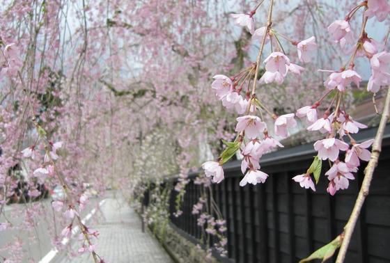 4月末から桜が咲き始めます*