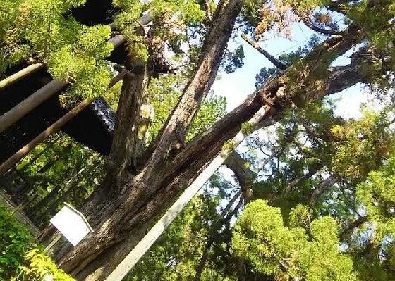 仏殿前にそびえるイブキの大樹