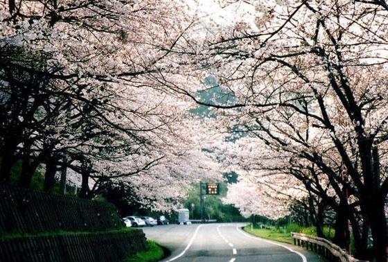 桜のトンネル🌸