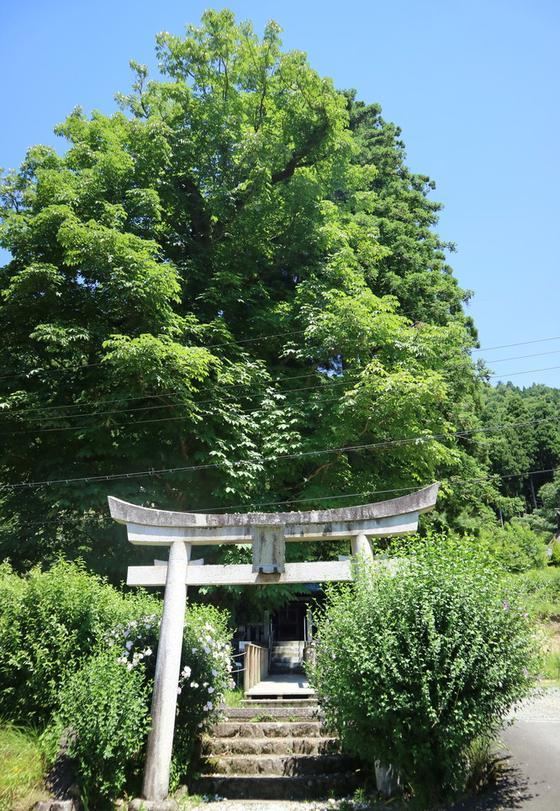 樹齢400年を超える巨木