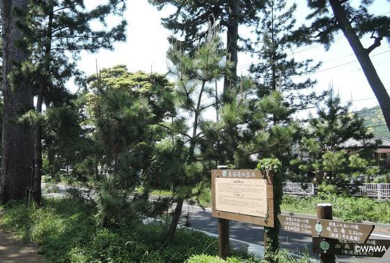 東海道松並木 大磯宿