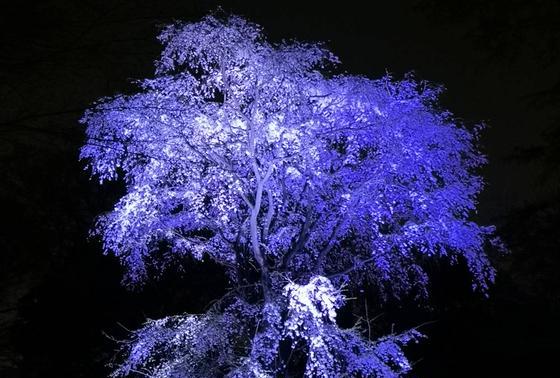 垂れ桜のライトアップ