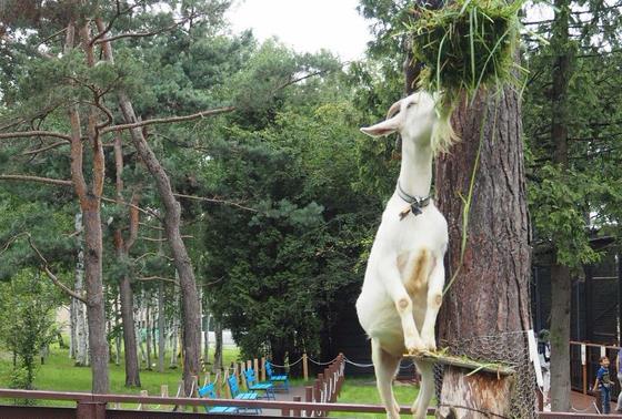 背伸びするヤギが撮れちゃう!