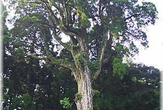 樹齢千年の御神木