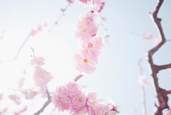 四月にいくと、梅がとてもきれいです。