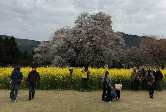 菜の花と大桜