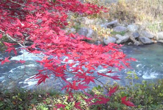 関東とは紅葉の色が違います。