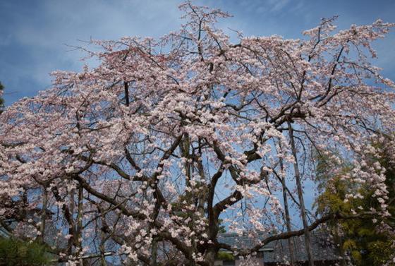 【巨大枝垂桜】大宝寺