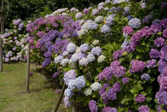 紫陽花が咲く場所もあります。
