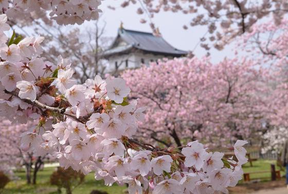 松前でしか見られない桜もあります