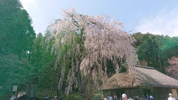こちらが樹齢400年のシダレザクラ
