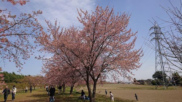 咲き誇る桜を見よ