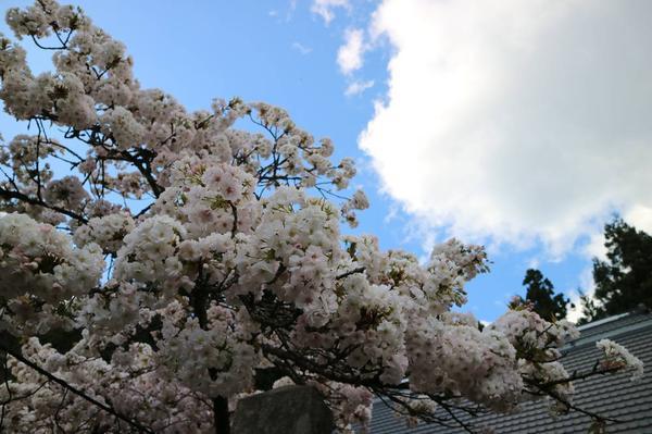 Homyoji Temple Cherry Blossoms