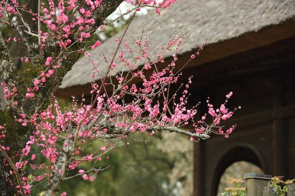 茅葺屋根と梅のコラボ