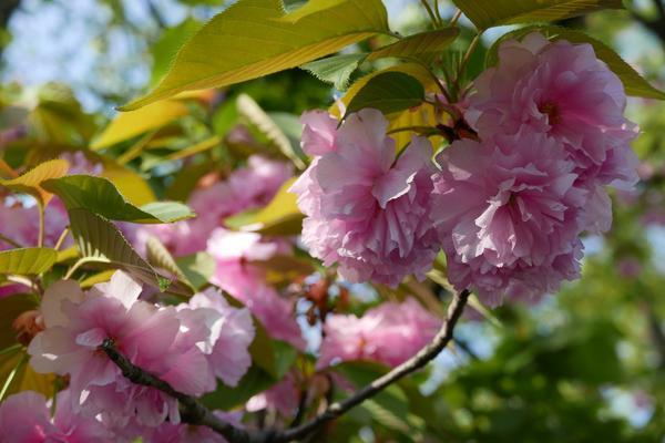 八重桜は長く楽しめます