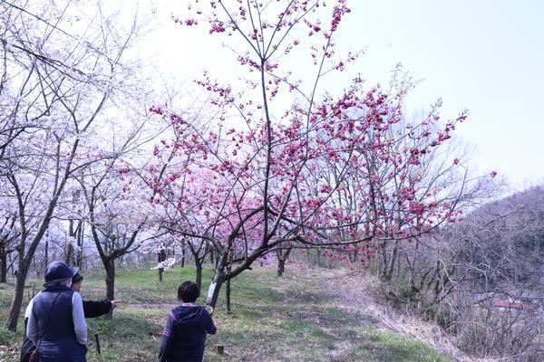 色々な種類の桜が楽しめる