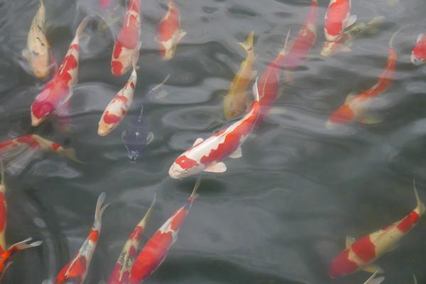 大量の池の鯉が寄ってくる