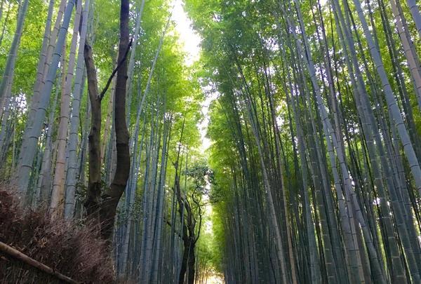 嵯峨野 竹林の道の写真・動画_image_126770