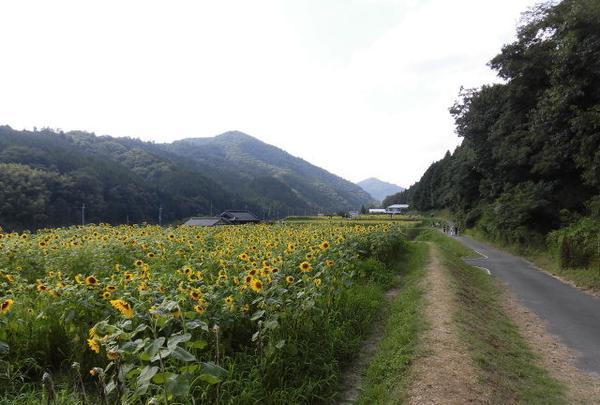 南光ひまわり畑の写真・動画_image_150242