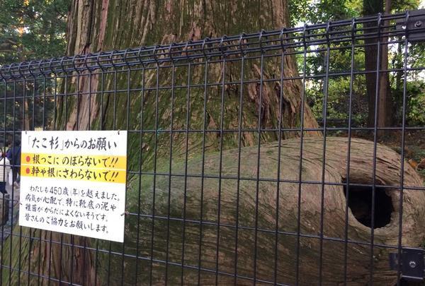たこ杉の写真・動画_image_166533