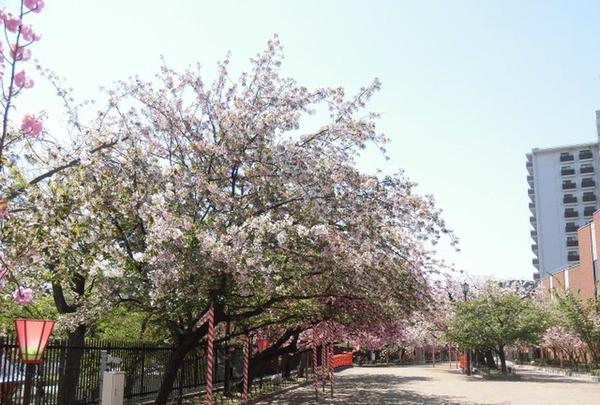 造幣局 桜の通り抜けの写真・動画_image_190955