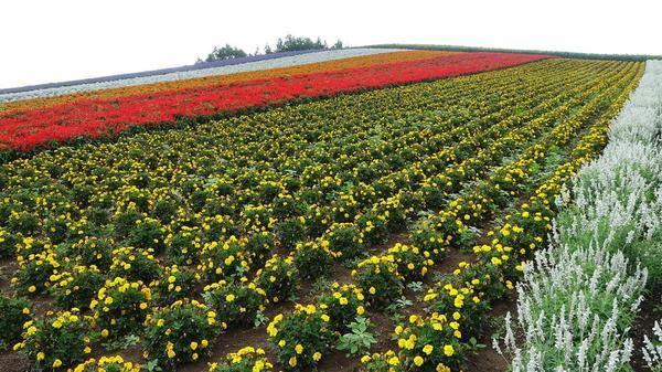 四季彩の丘の写真・動画_image_299919