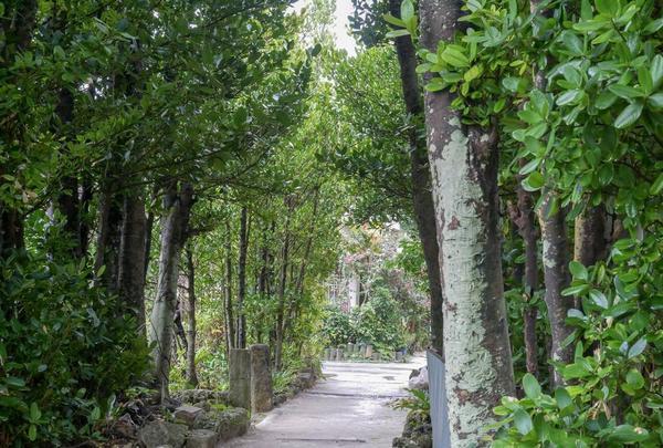 備瀬のフクギ並木の写真・動画_image_332594