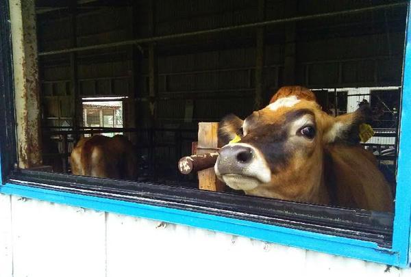 愛くるしい表情のジャージー牛