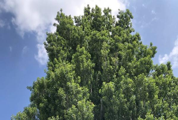 ケンとメリーの木の写真・動画_image_608839