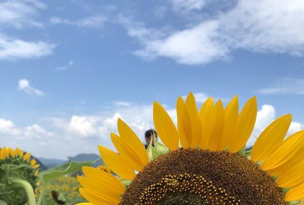 南光ひまわり畑の写真・動画_image_617377