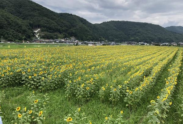南光ひまわり畑の写真・動画_image_617380