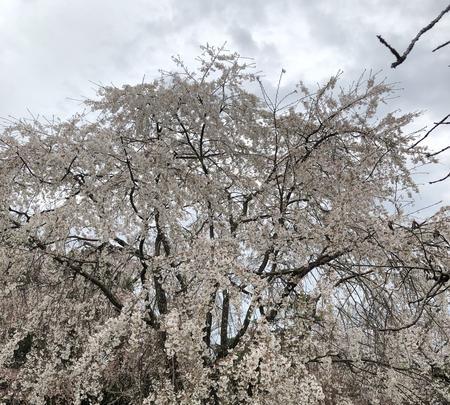 醍醐寺の写真・動画_image_901148