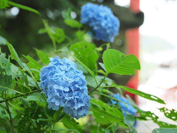 季節ごとの風景(紫陽花)