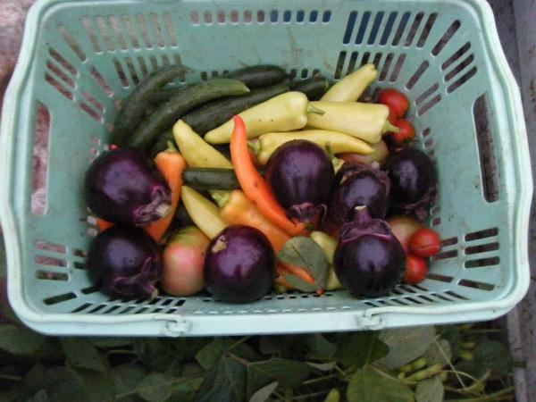 夏野菜の収穫♡