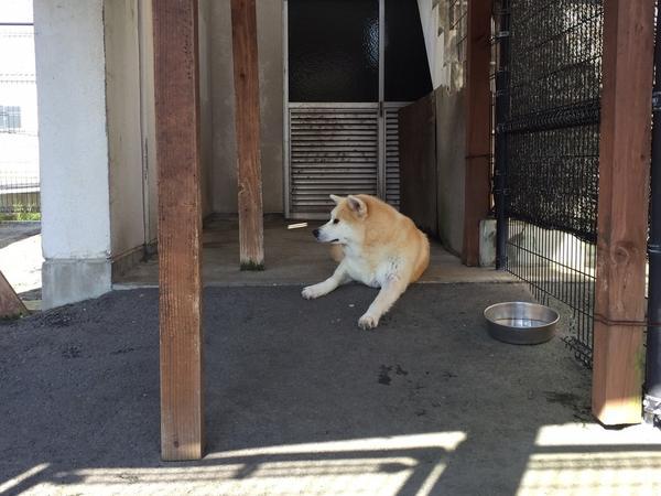 秋田犬がお出迎え