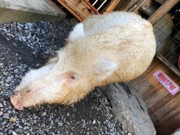 2年産まれた白猪