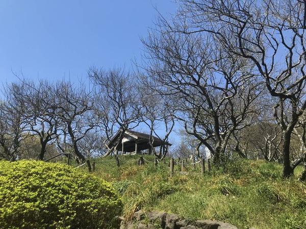 梅の木(満開は2月中旬から3月)