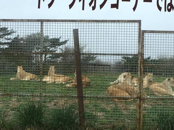 ライオンたち