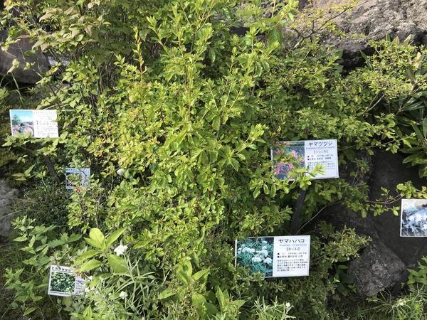 夏の高山植物
